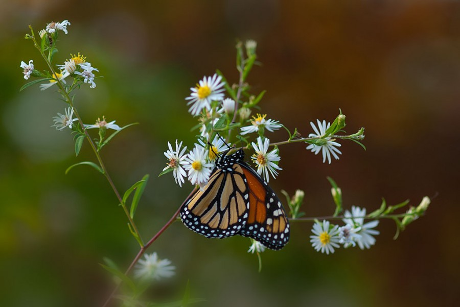 Monarch Butterfly on Daisies