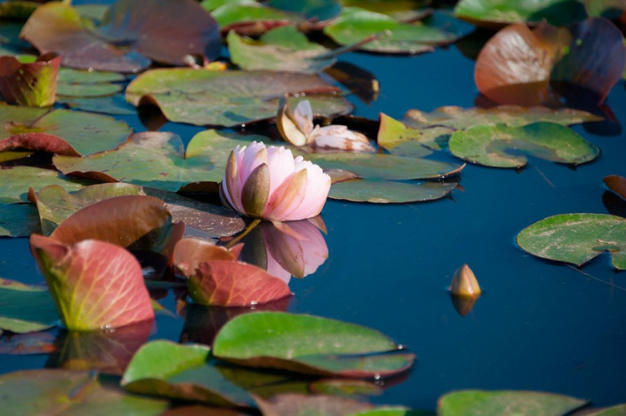 Hollandia Water Lily