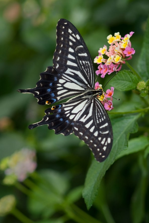 August 9, 2008: Asian Swallowtail