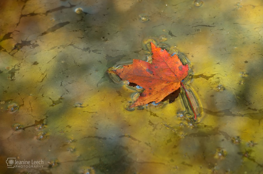 Red Maple in Oil Reflection