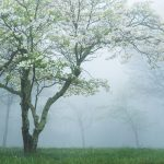 Dogwood_in_Fog